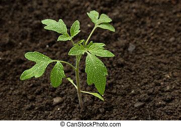 pianta pomodoro, verde