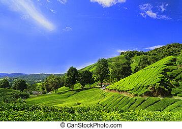 piantagione, campi, altopiano, cameron, tè