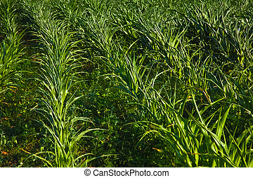 piantagione, fresco, granaglie, campo verde