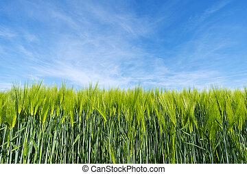 piante, agricoltura, frumento, fondo