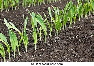 piante, crescente, verde, giovane, fila