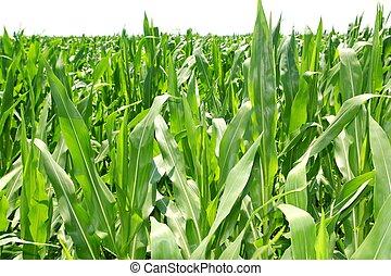 piante, granaglie, piantagione, campo, verde, agricoltura