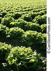 piante, lattuga, campo, verde, prospettiva, spain.