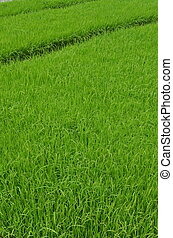piante, reale, indonesia., fields., immagine, questo, java, spostare, piantatura, zone., essendo, semi, verde, ovest, preso, riso, prima