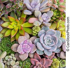 piante, succulento, miniatura