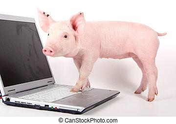 piccolo, laptop, maiale