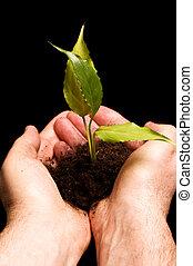 piccolo, pianta, uomo, tenendo mano