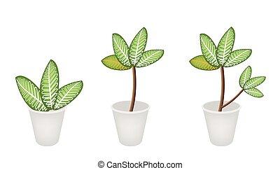 picta, pianta, fiore, marianne, vaso, tre, dieffenbachia