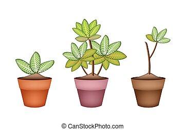 picta, pianta, marianne, ceramica, otri, tre, dieffenbachia