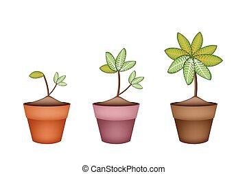 picta, pianta, marianne, vaso, ceramica, dieffenbachia