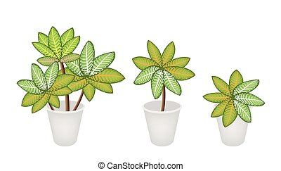 picta, piante, fiore, marianne, vaso, tre, dieffenbachia