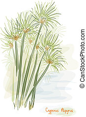 plant., papiro, (cyperus, papyrus)