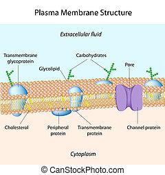 plasma, membrana