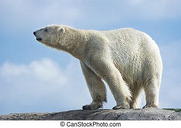 polare, camminare, orso, pietre