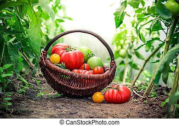 pomodori freschi, suolo