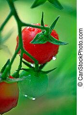 pomodori freschi, verde, ciliegia, rosso