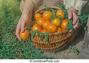 pomodori, fresco, frescamente, giallo, tomatoes., raccogliere, ground.