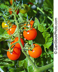 pomodori vite, maturo, rosso