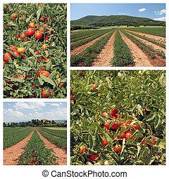 pomodoro, coltivazione, collage