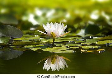 pond., waterlily, natura, bianco