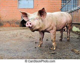 porcile, maiale