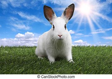 prato, coniglio, soleggiato, sereno, campo, primavera