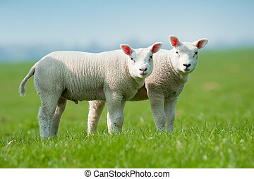 primavera, agnelli, carino