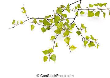 primavera, bianco, isolato, betulla
