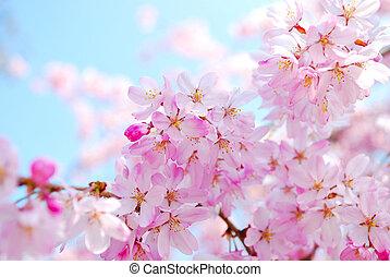 primavera, durante, fiori, ciliegia