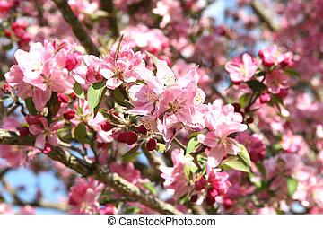 primavera, fioritura, crabapple