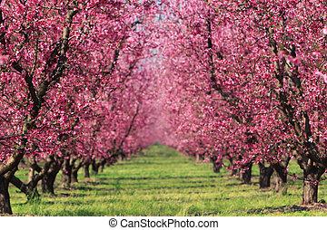 primavera, frutteto, ciliegia