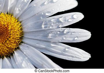 primo piano, fiore, dof, macro, poco profondo, isolato, fuoco, acqua, drops., margherita, black.