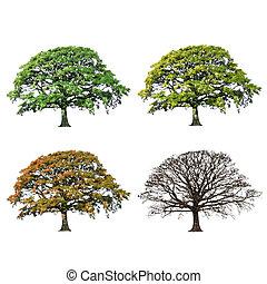 quattro, quercia, astratto, albero, stagioni