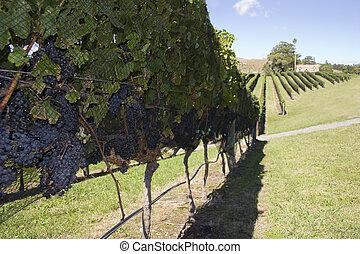 raccogliere, uva
