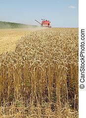 raccolta frumento, agricoltura