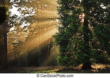 raggi sole, motivazionale, albero, autunno, attraverso, foresta, cadere, alba
