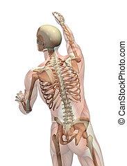 raggiungimento, giramento, semi-trasparente, scheletro, -, muscoli