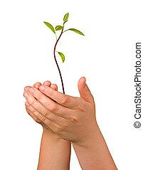 regalo, piantina, avocado, albero, mani, agricoltura