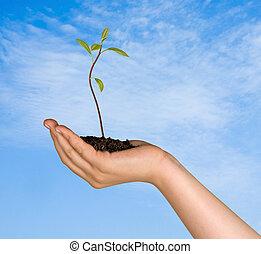 regalo, piantina, avocado, albero, mano, agricoltura