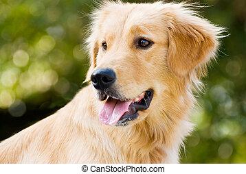 relativo, cane da riporto, lingua, dorato, spuntare