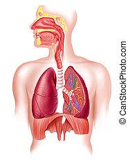 respiratorio, sezione, sistema, croce, pieno, umano