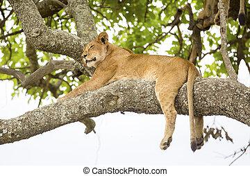 resti, leone, albero, africano