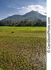 riso, paesaggio, campo agricoltura