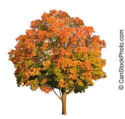 ritaglio, bianco, albero, isolato, zucchero, cadere, included, percorso, acero