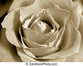 rosa, bianco, sepia