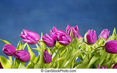 rosa, blu, tulips, studio, fondo, fiori
