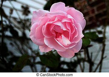 rosa colore rosa, (top, view)