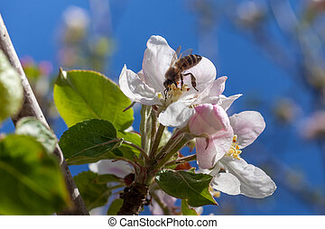 rosa, germogli, fiore apple, ape, bianco
