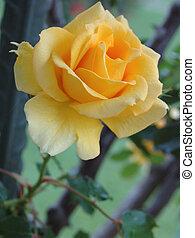 rosa, giallo