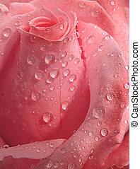 rosa, goccioline, rosa